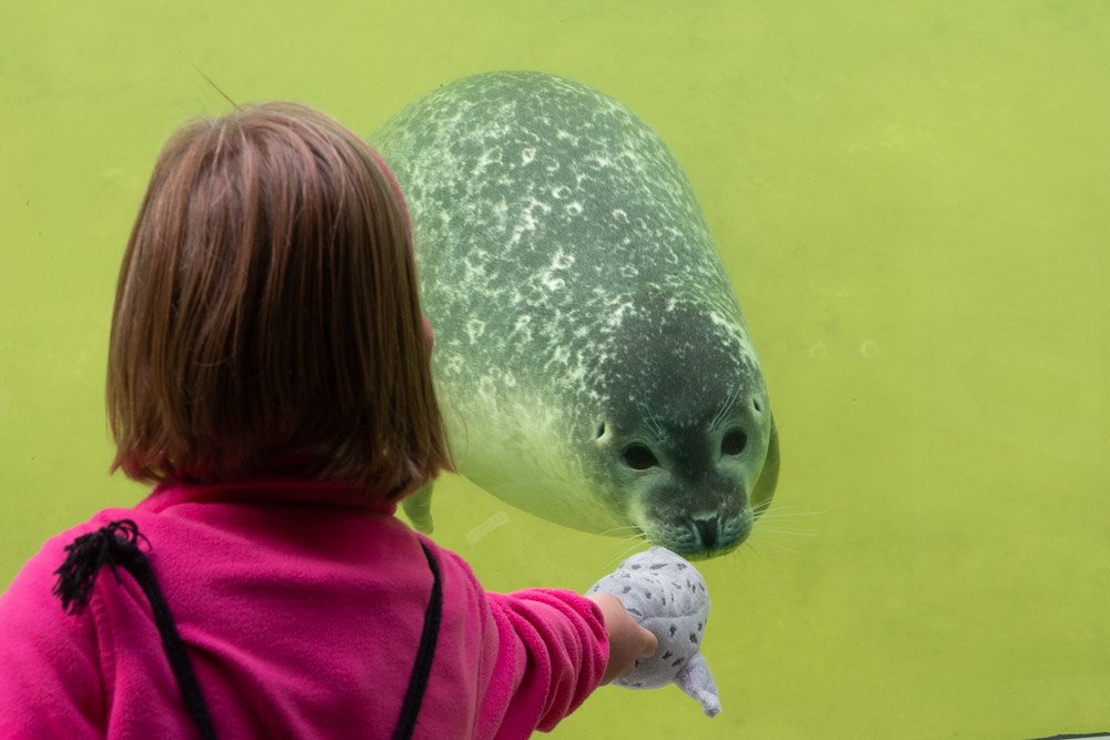Seehund mit Kontakt zu Besucherin