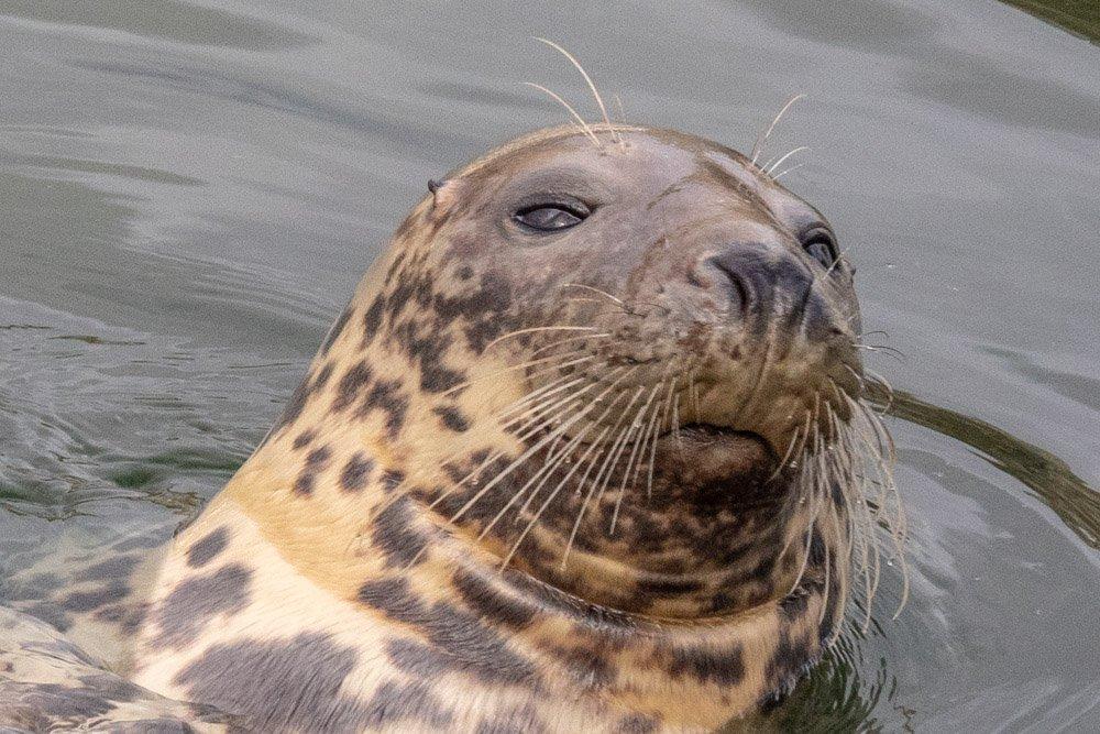 Seehundporträt